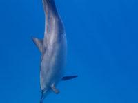 abtauchender Delfin
